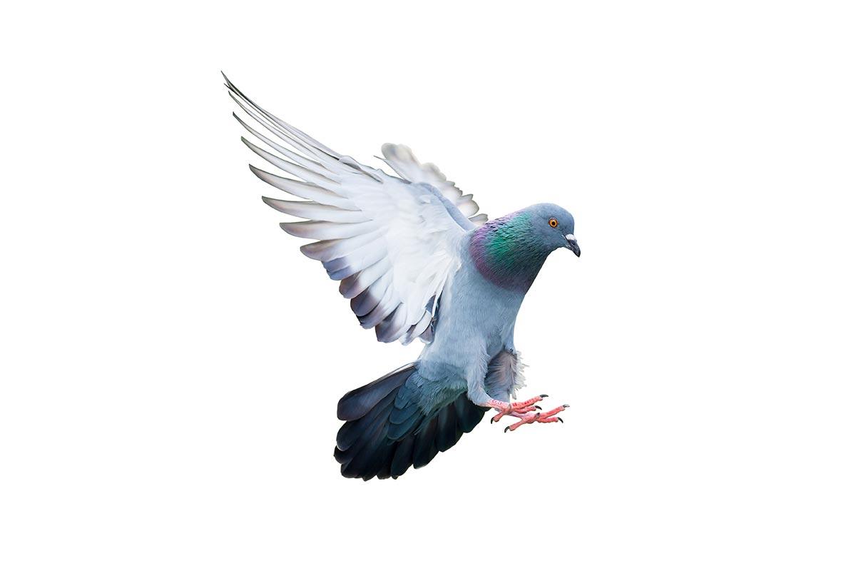 Taubenabwehr, Tauben, Taubenplage, ProEX Hilfe
