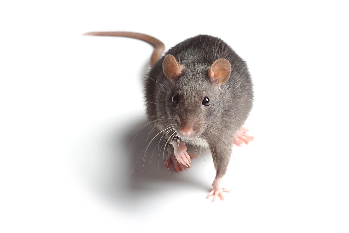 Rattenplage, Kanalratte, ekelig, Gift, Falle, ProEx