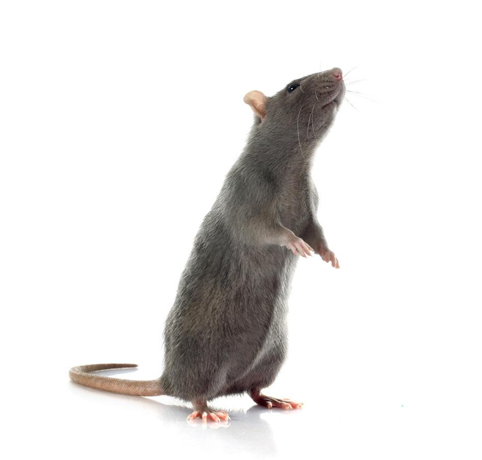 Rattenplage, Ratte, Beseitigung, Nagetier, Plage, Gift, Rattengift, Falle
